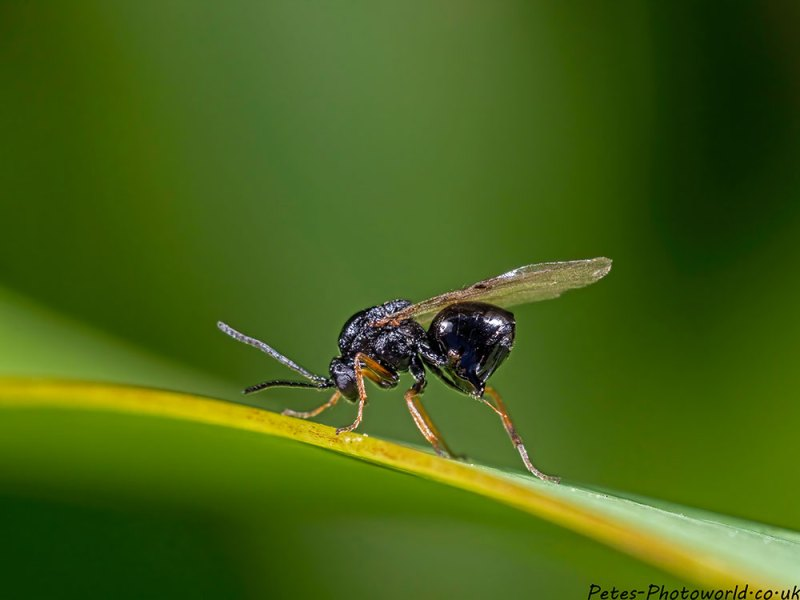 Black fly with orange legs