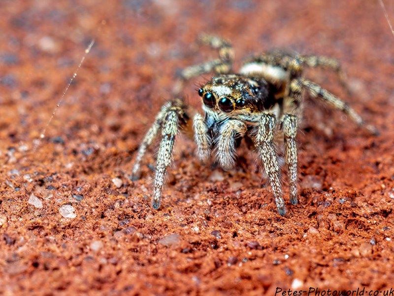 Jumping Spider I