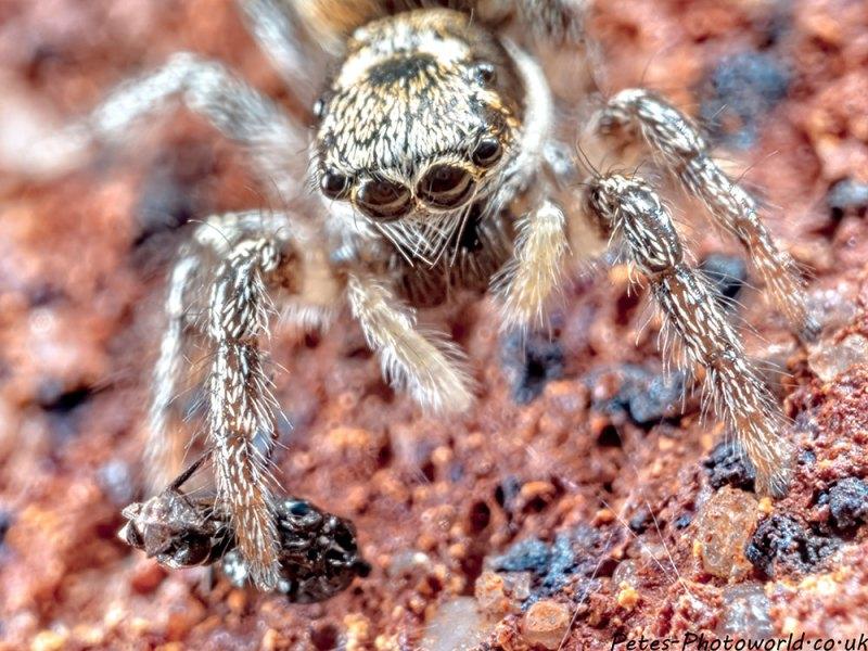 Jumping Spider V