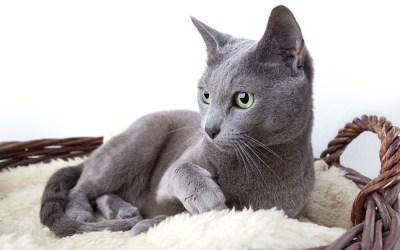 Conheça raças de gatos nativas da Rússia