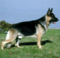 German Shepherd Dog Dog Breed