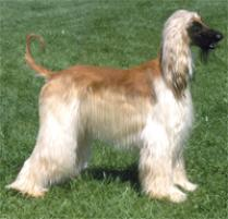 Afghan Hound Dog Breed