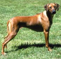 Adopt A Rhodesian Ridgeback Dog Breeds Petfinder