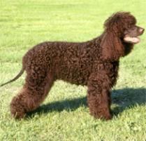 Irish Water Spaniel Dog Breed