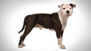 American Staffordshire Terrier Dog Breed