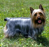Silky Terrier Dog Breed