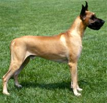 Great Dane Dog Breed