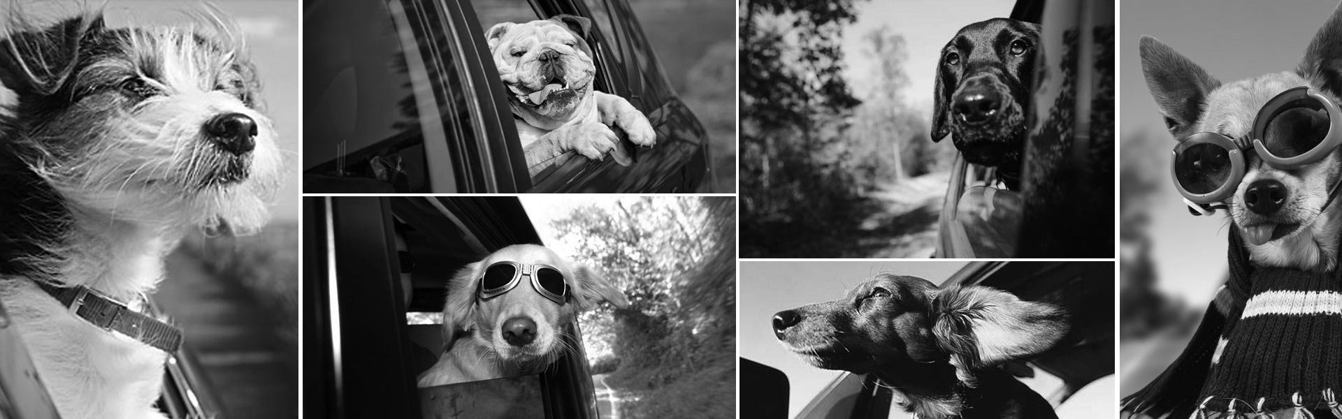 Picture of dog taking car rides