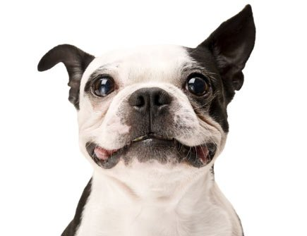 Picture of black and white dog