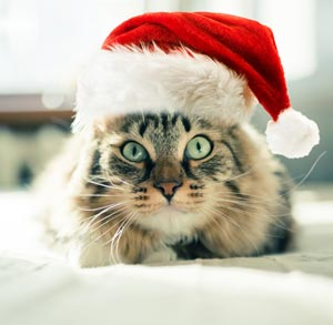 Picture of cat wearing a Christmas hat