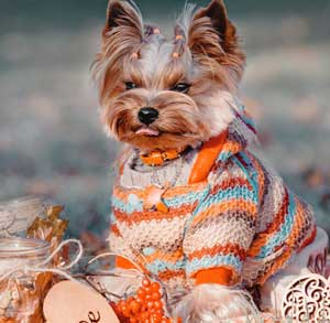 Picture of dog in a sweater