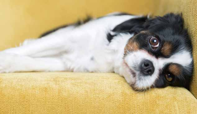 Picture of a Cavalier King Charles Spaniel on a yellow sofa