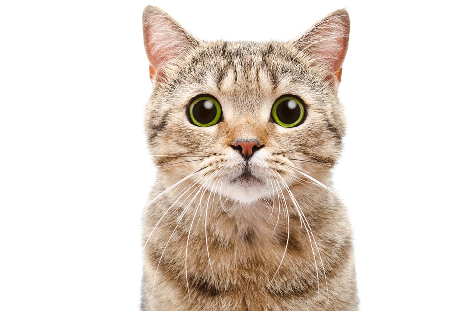 Picture of a cat on a white background