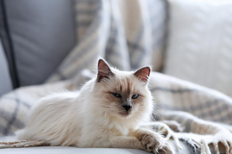 Picture of of a himalayan cat on the couch