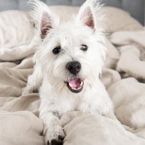 Picture of white dog on the bed