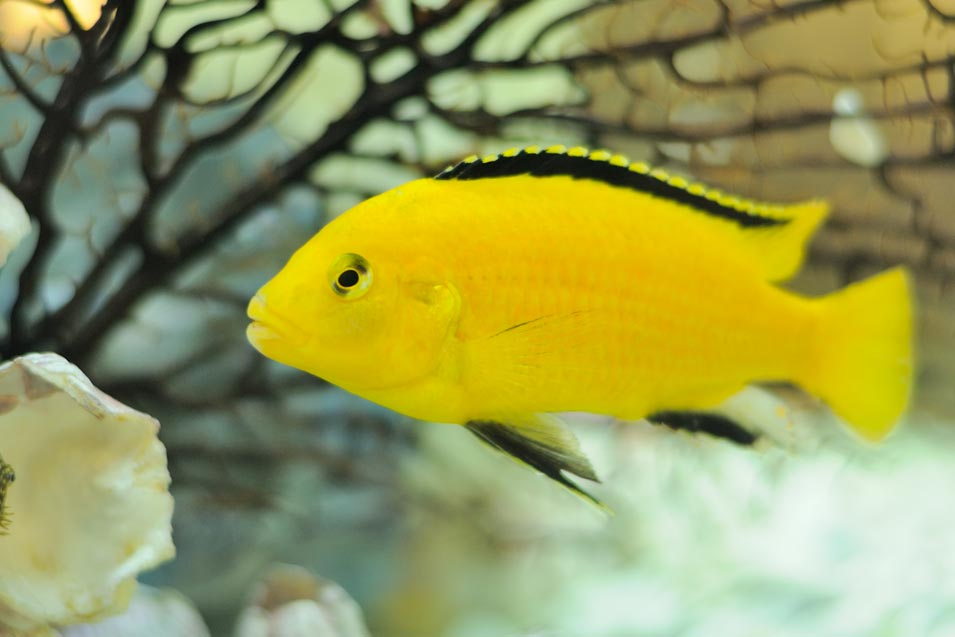 Picture of a African Cichlid