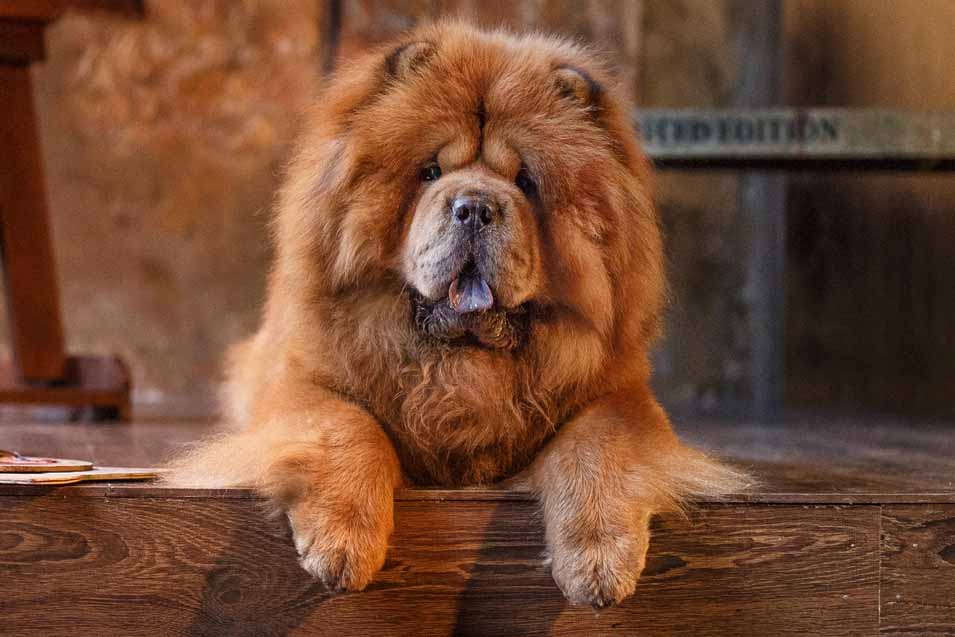 Picture of a Chow Dog