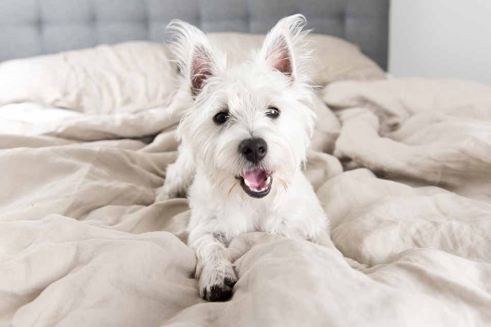 Picture of a white dog on the bed