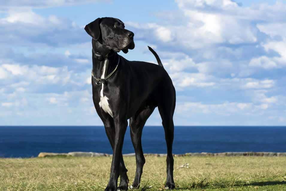 Picture of a Great Dane by the water