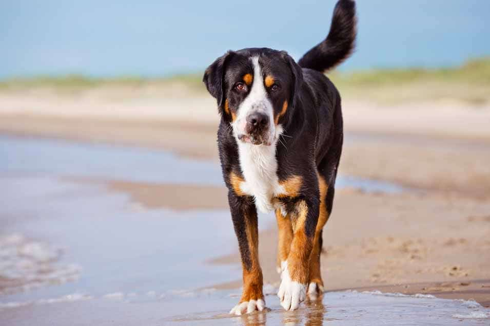 Picture of a Greater Swiss Mountain Dog a the beach