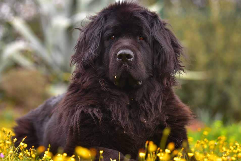 Picture of a Newfoundland Dog outside
