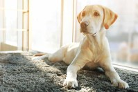 Removing Pet Ink From Your Carpet - Pet Friendly House