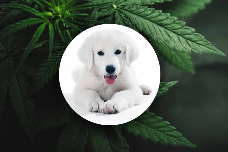 Picture of dog and cannabis