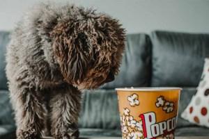 dog looking at popcorn