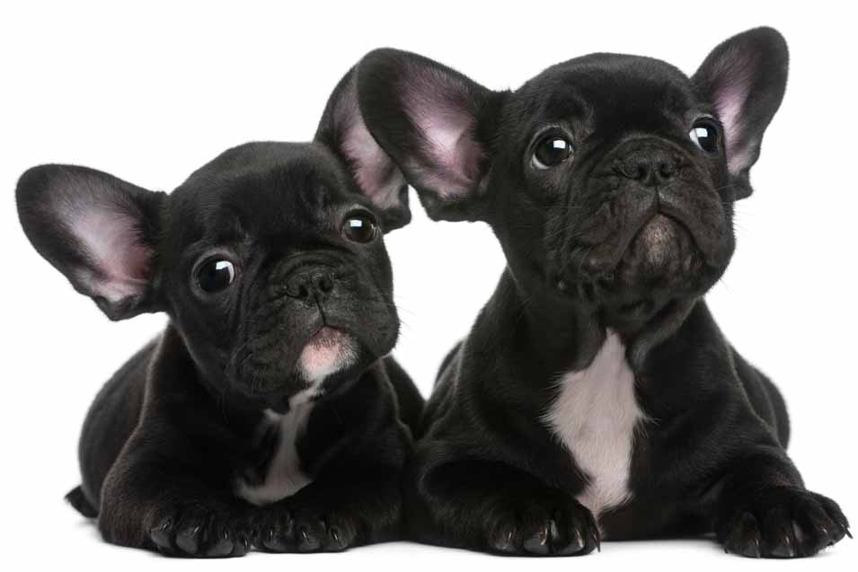 Picture of two french bulldog black puppies