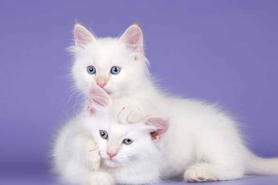 Picture of two white cats