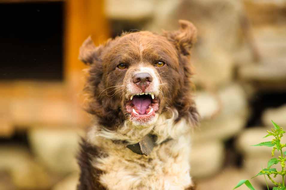 Picture of a aggressive dog