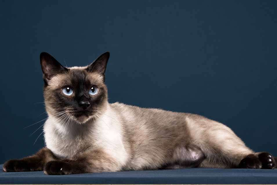 Picture of a Siamese Cat