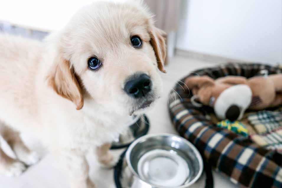 Picture of Golden Retriever by water bowl