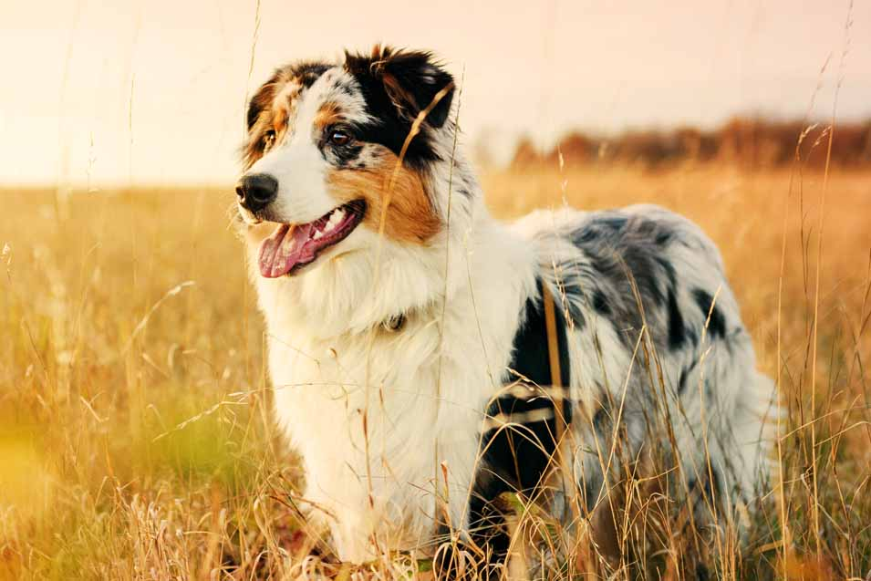 Picture of of a dog in a wheat field