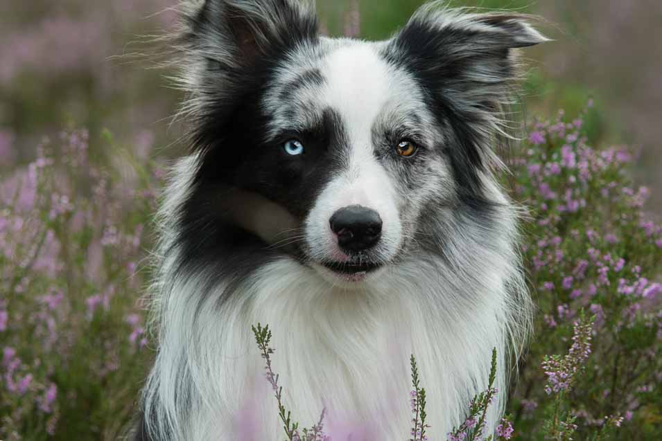 Picture of Border Collie