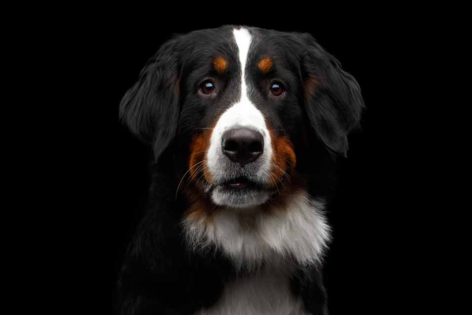 Picture of a Bernese Mountain Dog