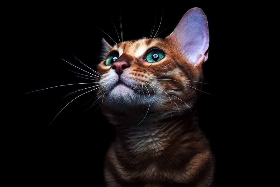 Picture of cat on a black background