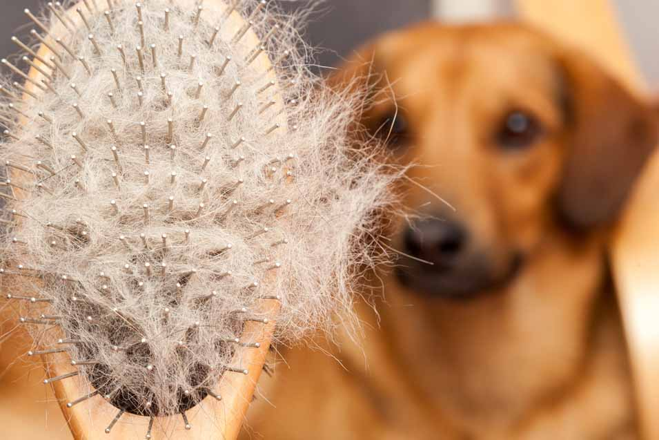 Picture of hair brush full of dog hair
