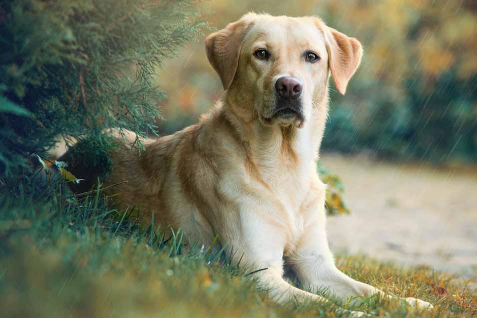 Picture of a Labrador Retriever