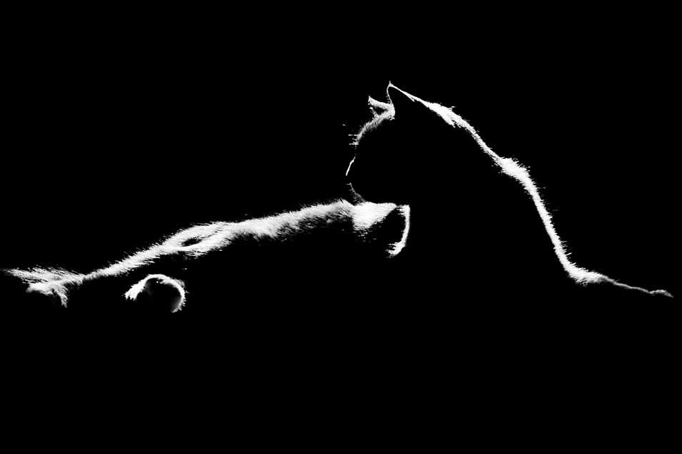 Picture of a black cat silhouette