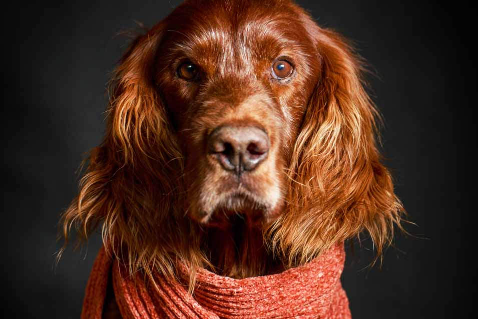 Picture or a Irish Setter