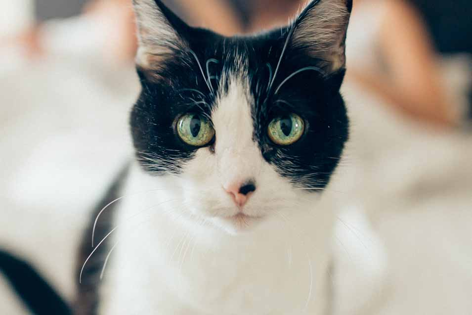 Picture of a Black and White Cat