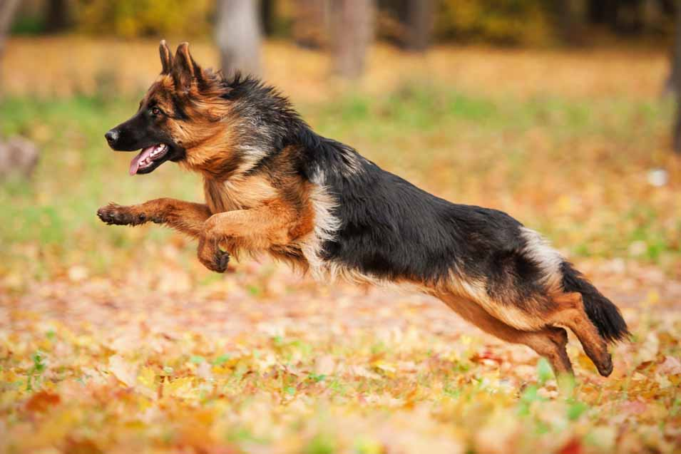 Picture of a German shepherd