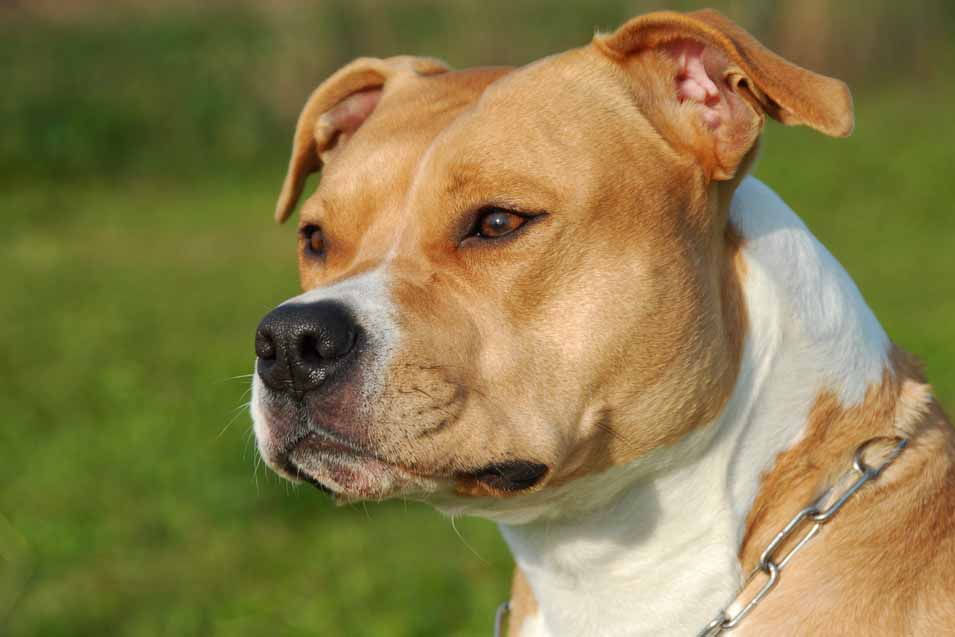 Picture of a Staffordshire terrier