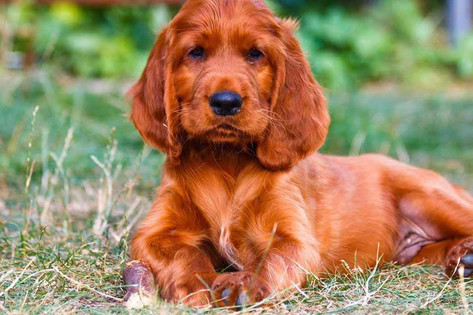 Picture of an Irish Setter