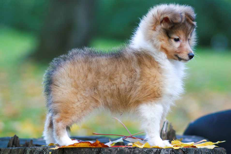 Picture of a Shetland Sheepdog puppy