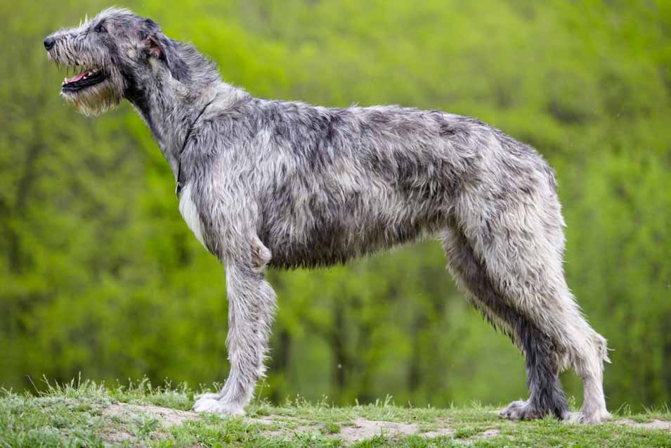Picture of a Irish Wolfhound
