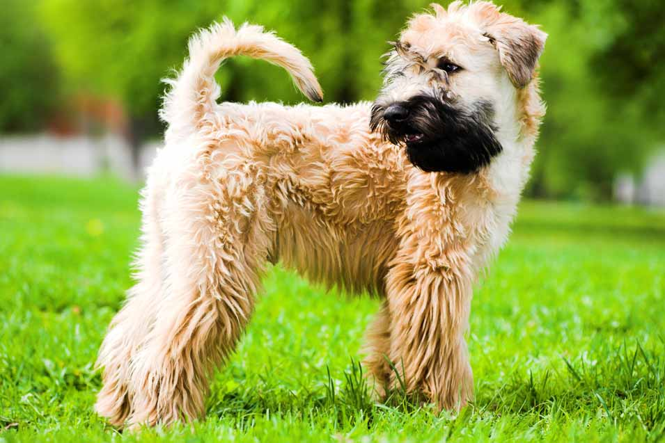Picture of a Soft Coated Wheaten Terrier
