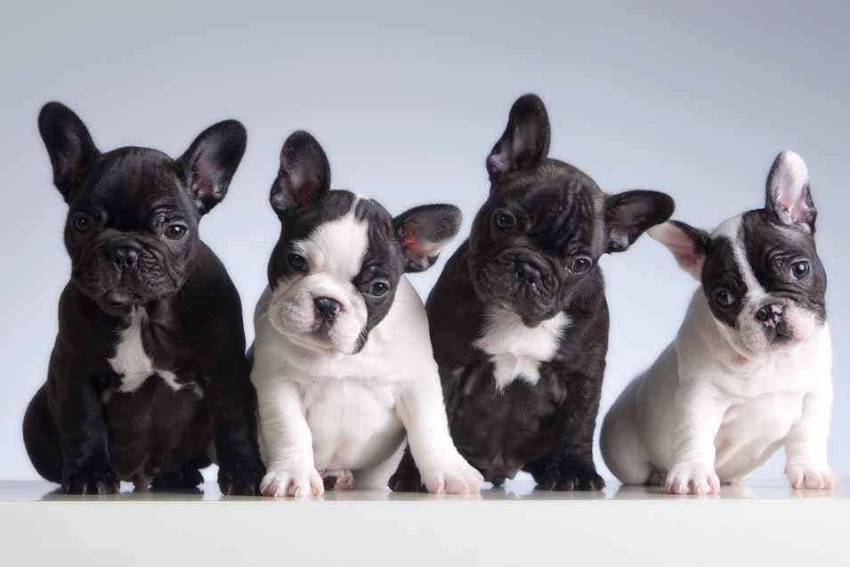 Picture of a French Bulldogs