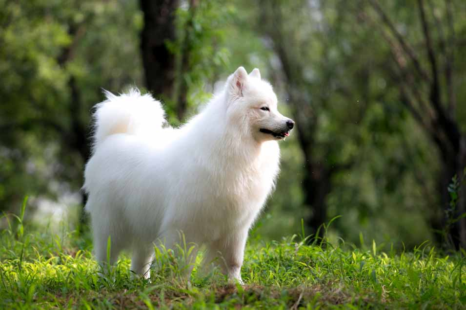 Picture of a Samoyed Dog